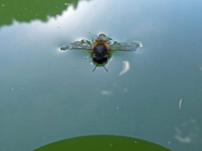 Image Of A Bee In Water.