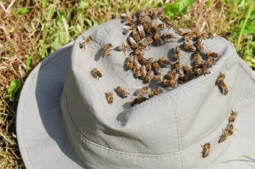 Featured Image Of A Cloth Cap Surrounded By Bees.
