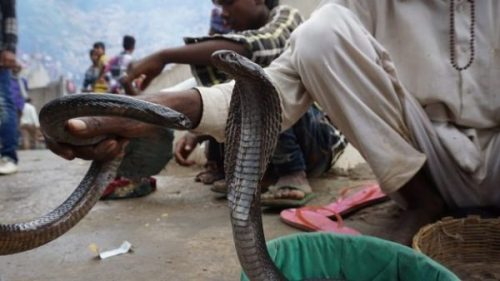 Featured Image Of Snakes Being Handled In India.