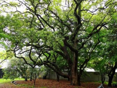 JAPANESE OAK TREE; KYOTO.