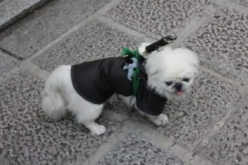 Featured Topic Image A Small White Terrier Dog With Dark Coat On And With A Small Sword Strapped To It's Back.
