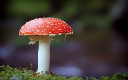 ANOTHER OF THE PHILOSOPHERS STONE OF NATURE... THIS ONE BE... AMANITA MUSCARIA... aka RED BUTTON/ANGEL.