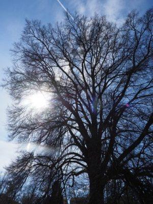 ELM... TREE,.. PRE SLIPPERY STATE.
