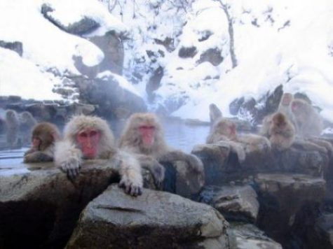 THE MACAQUE MONKEYS OF JIGOKUDANI HOTSPRINGS... NAGANO, JAPAN... BATH TIME.?. ALL THE TIME INDEED IT SEEMS. photocredit/thanks:wikimedia