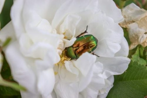 Image Of A White Rose With A Shiny Beetle Perched Upon.