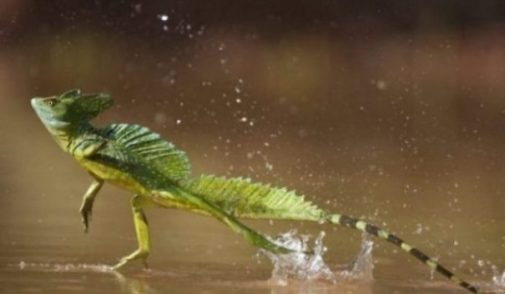 Featured Topic Image Basilisk Lizard Running On Water.