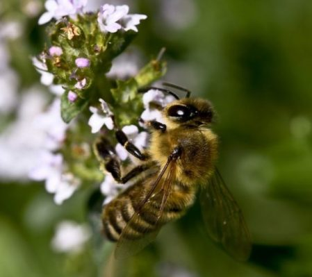 Featured Topic Image A Bee On A Thyme Flower Bunch.
