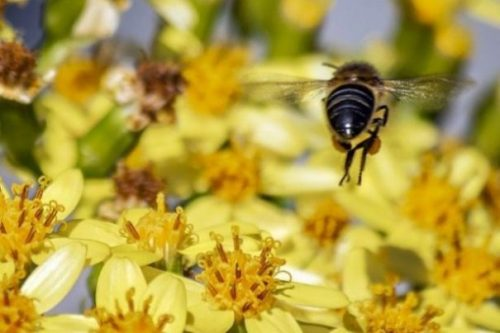 Featured Topic Image A Close Up Of A Bee From Behind In A Field Of Yellow Flowers.