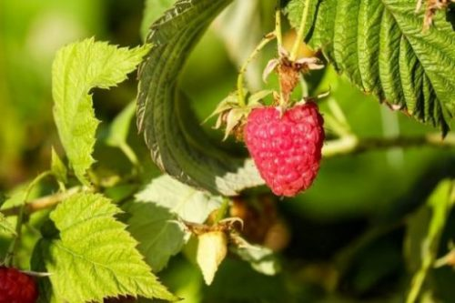 Featured Topic Image A Lone Raspberry Red Ripe Amongst The Greenery Of The Plant.