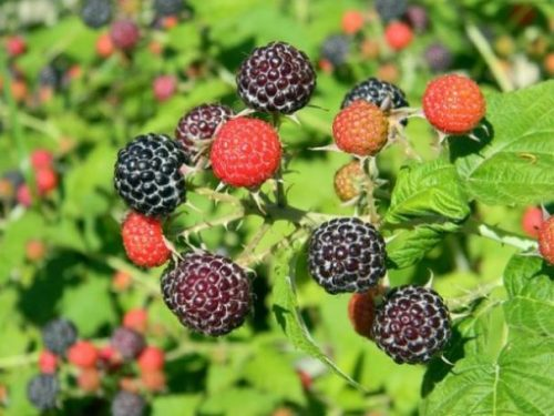 Featured Topic Image A Branch Of A Raspberry Plant With Fruit At Different Stages Of Ripeness Showing Differing Colorations.