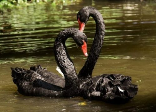 Featured Topic Black Swan Pair In Water.