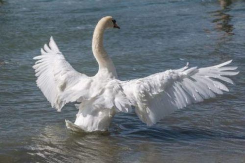 Featured Topic White Swan Wings Spread In Water.