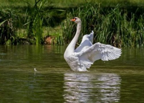 Featured Topic Image Of A White Swan With Wings Spread In A Reedy Lake Not Far From Shore Line.