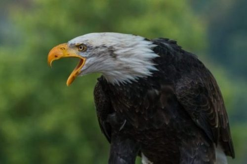 Featured Image Of A Sitting Bald Eagle Squawking.