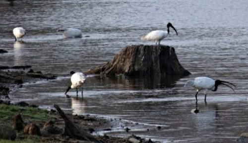 Beach Shore Image With Several White Ibis.