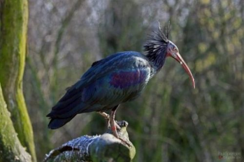 Featured Image Of A Perched Blue Wood Ibis.