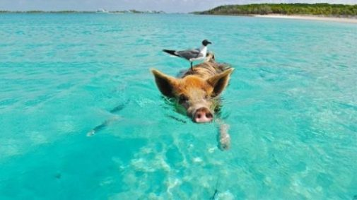 Image Of A Bird Atop A Pig Swimming In Clear Bay Waters.
