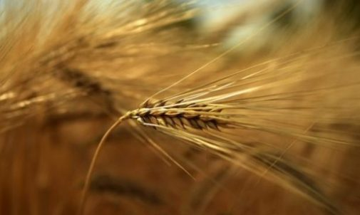 Image Closeup Of Ears Of Grain In A Yellow Grain Field.