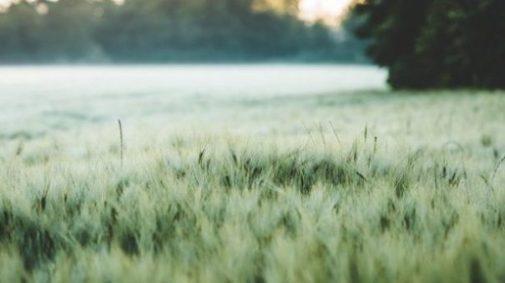 Image Of A Grain Field Still Green In Color.