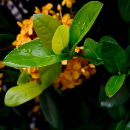 Image Of Osiris Plant Leaves.