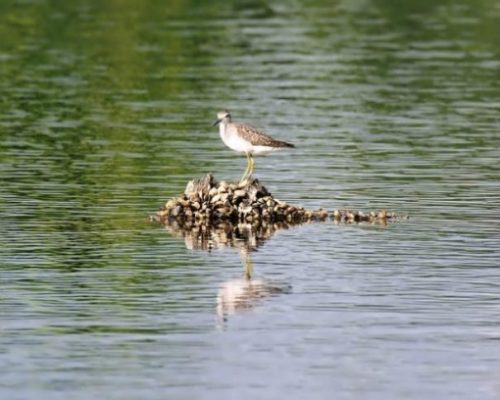 Image Of A Sandpiper Bird Standing On A Small Pile Of Rocks In Water.