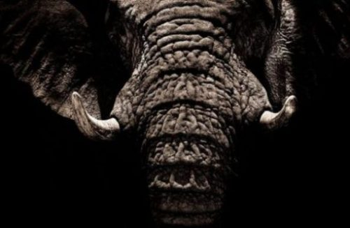 Image Of A Closeup Of An Elder Elephants Face, Ears And Tusks.