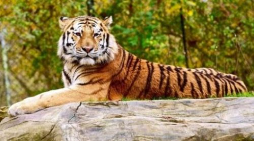 Image Of A Tiger Resting Calmly Backgrounded By Nature.