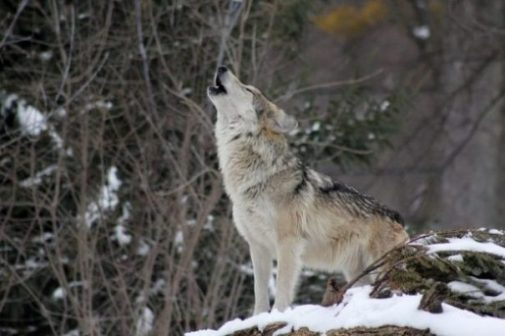 Featured Image Of A Wolf Howling In A Forest Winter.