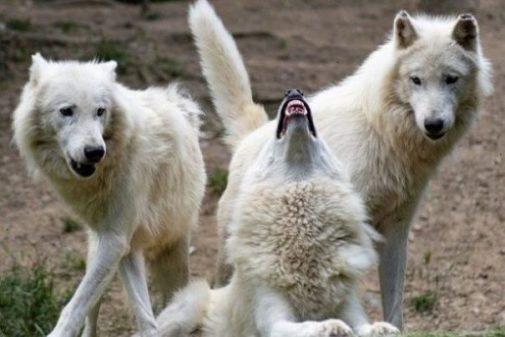 Image Of Three White Wolves With Two Looking At The Third Howl.