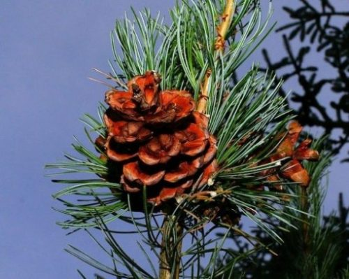 Image Of A Pine Tree Cone Closeup On A Branch.