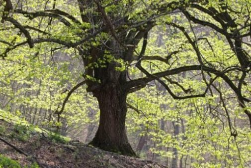 Image Of An Oak Tree In A Forest.
