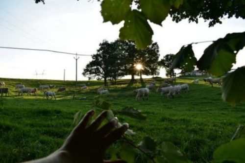 Featured Image Of A Hand Moving Aside A Tree Branch To Look At A Herd Of Cows Nearby.