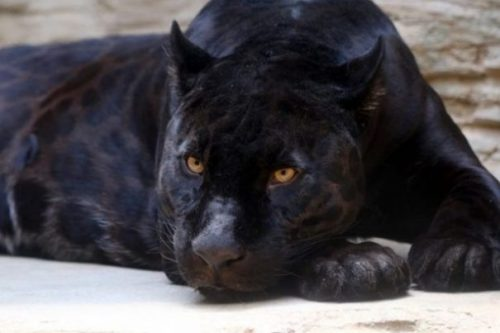 Featured Image Of A Panther At Rest.