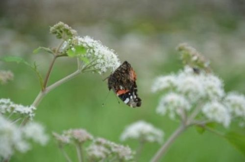 Featured Image Of A Butterfly On A Hemlock Plant/Flowers.