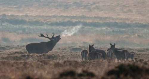 Featured Image Of Several Deer And A Stag In A Field On A Misty Morn.