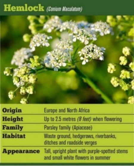 Image Of A Hemlock Plant With General Text Overview On Types And Habitats.
