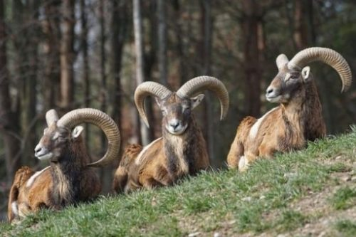 Featured Image Of Three Seated Rams Near A Forest Setting.