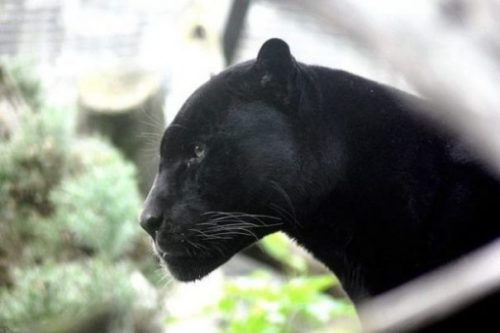 Image Of A Panther Looking To The Left In A Nature Setting.