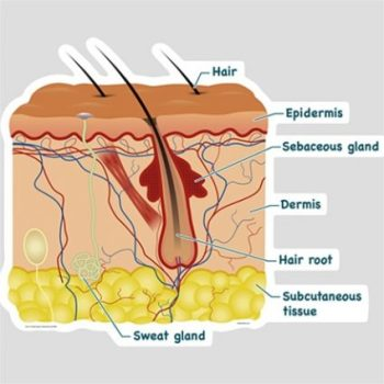 Image Showing Drawn Profile Of Hair And Skin Components.